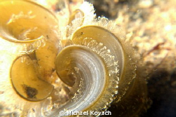 White Scroll algae at the Big Coral Knoll off the beach i... by Michael Kovach 